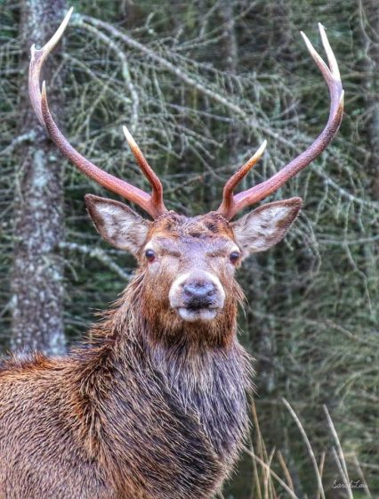 Splendid photogarph of stag head and shoulders looking straight to camera