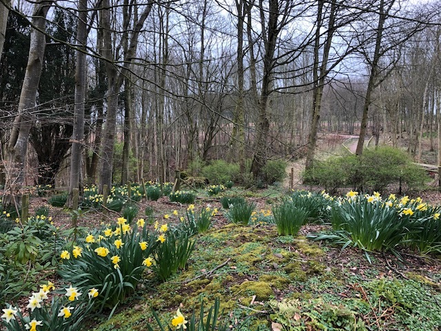 daffodils are out in bloom on the woodland floor