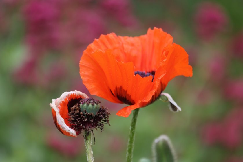 close up of poppy