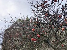 Tree with red fruits still hanging - church in background